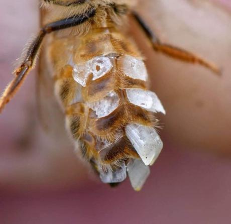La cire d'abeille est produite par 4 paires de glandes cirières sur la face ventrale de l'abdomen. Elle démarre sous forme d'écailles transparentes de cires qui deviennent opaques et jaune après mastication.