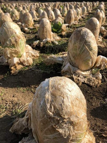 De nombreux fermiers Japonais ont délaissé leurs cultures de choux chinois pendant l'hiver, espérant obtenir de l'engrais naturel. Ils ont obtenu des œufs de xenomorphes à la place...