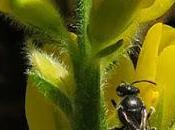 Genêt ailé (Genista sagittalis)