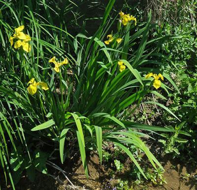 Iris des marais (Iris pseudacorus)