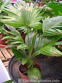 Un joli palmier à feuilles rondes: le livistona rotundifolia