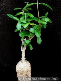 Le fockéa est une plante à caudex