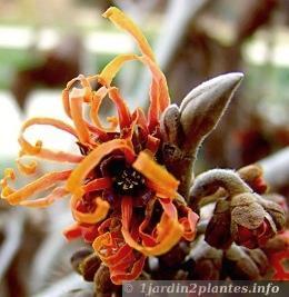 Une fleur d'hiver: l'hamamélis