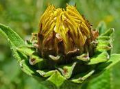 Inule grande aunée (Inula helenium)