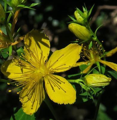 Millepertuis hérissé (Hypericum hirsutum)