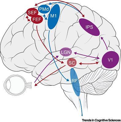 #trendsincognitivesciences #œil #main #mouvement #synchronisation Utilisation Fonctionnelle des Mouvements de l'Œil comme Système Effecteur