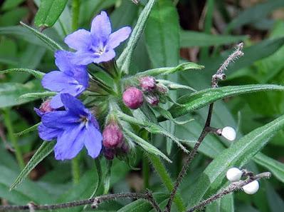 Grémil bleu-pourpre (Buglossoides purpurocaerulea)