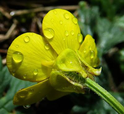 Renoncule bulbeuse (Ranunculus bulbosus)