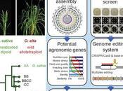 #Cell #agronomie #sécuritéalimentaire #domestication #génomique #riz #allotétraploïdie piste vers domestication novo sauvage allotétraploïde