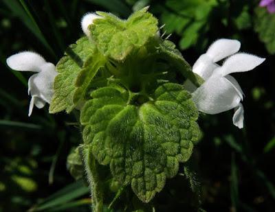 Lamier pourpre albiflore (Lamium purpureum)