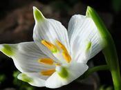 Nivéole printemps (Leucojum vernum)
