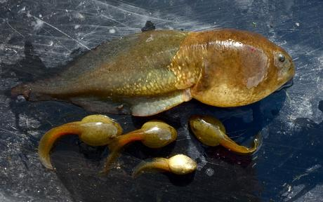 Un têtard de grenouille-taureau anormalement hypertrophié a été découvert l'été 2018, surnommé Goliath et est décédé, sans avoir accompli sa métamorphose, en mai 2019 (Banana for scale). Image de Earyn McGee et Alina Downer