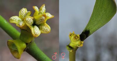 Les fleurs du gui
