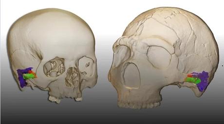 Les néandertaliens avaient la capacité de parler