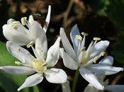 Scille deux feuilles albiflore (Scilla bifolia albiflora)