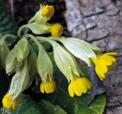 Primevère officinale, coucou (Primula veris subsp. veris)