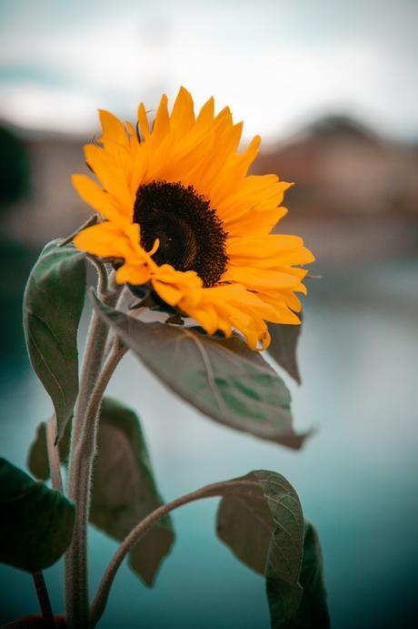 fleur tournesol que planter en avril jardin - blog déco - clematc