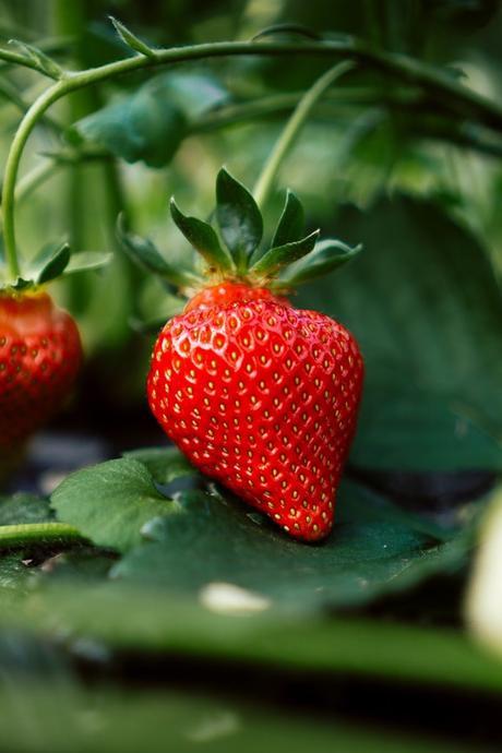 fraisier fraise fruit rouge que planter en avril verger - blog déco - clemaroundthecorner