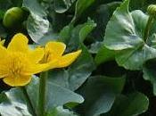 Populage marais (Caltha palustris)