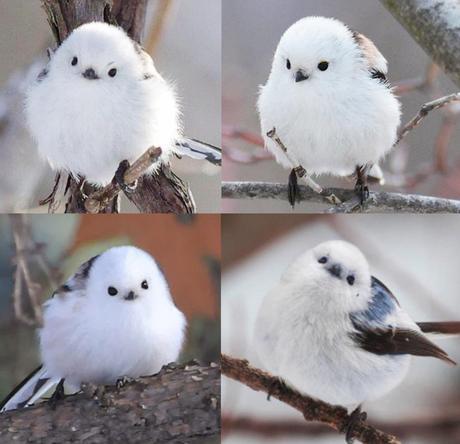 Il existe un variant de la mésange à longue queue  Aegithalos caudatus) peuplant l'île d'Hokkaido et caractérisée par un plumage blanc. Elle y est nommée Shima Enaga