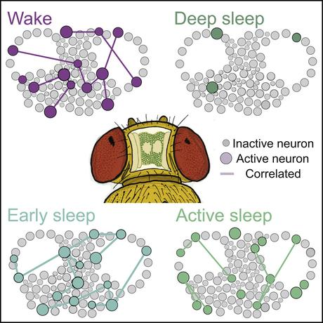 A Paradoxical Kind of Sleep in Drosophila melanogaster