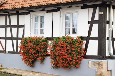 Géranium en fleur en Alsace © French Moments