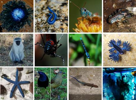 Examples of blue colouration in animals, Umbers K., 2012