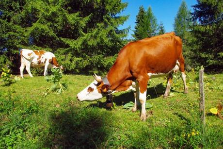 Vache abondance © French Moments