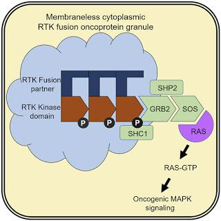 #Cell #signalisationRAS #kinase #protéinegranulaire Signalisation RAS médiée par une kinase par des protéines granulaires cytoplasmiques sans membrane