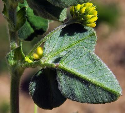 Luzerne lupuline, minette (Medicago lupulina)