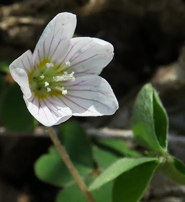 Oxalis des bois (Oxalis acetosella)