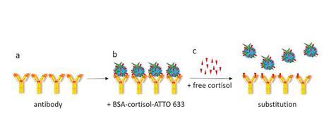 La fluorescence signale la concentration de cortisol dans l'échantillon (Schéma Skoltech)  .