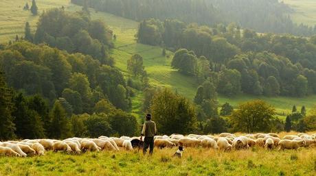 Moutons, Agriculteur, Berger, Agriculture, L'Élevage