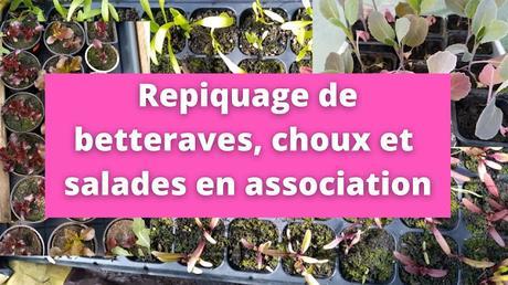Repiquage de betteraves, choux et salades en association (vidéo)