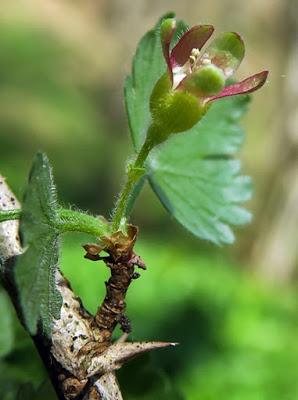 Groseillier à maquereau (Ribes uva-crispa)