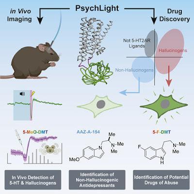 #Cell #médicamentpsychédélique #biocapteur Découverte de médicament d'inspiration psychédélique à l'aide d'un biocapteur obtenu par ingénierie génétique