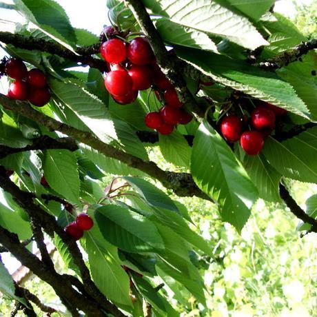 Cerises des beaux jours dans l'arbre - La Fille du Consul - Delphine R2M