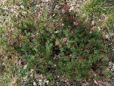 Camélée des Alpes (Daphne cneorum)
