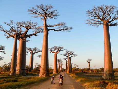 Aller des baobabs Morondava Madagascar