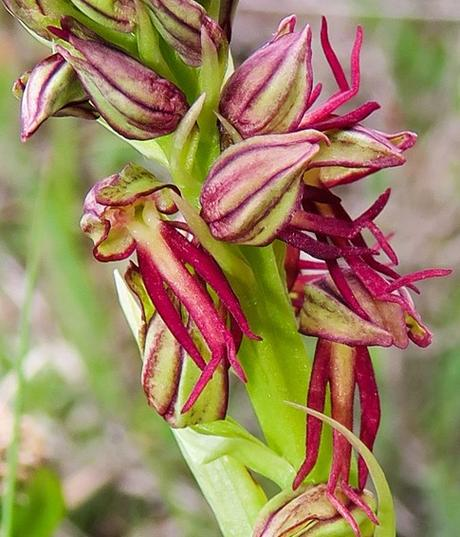 Orchis homme-pendu (Orchis anthropophora)