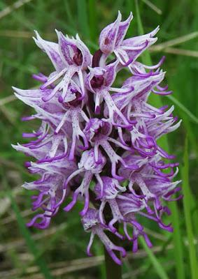 Orchis singe (Orchis simia)