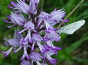 Orchis hybride militaire singe (Orchis beyrichii)
