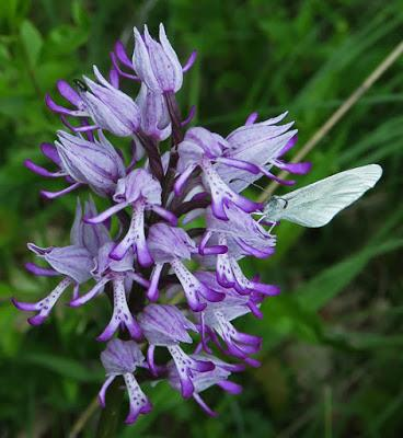 Orchis hybride militaire x singe (Orchis x beyrichii)