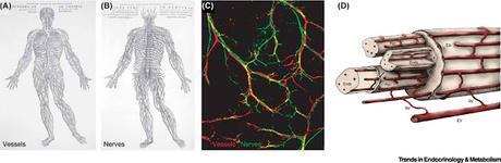 #trendsinendocrinologyandmetabolism #interactionsneurovasculaires #modèleinvitro Lien neurovasculaire périphérique : panorama des interactions et modèles in vitro