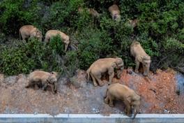 Les éléphants en vadrouille : nouvelle attraction en vogue en Chine
