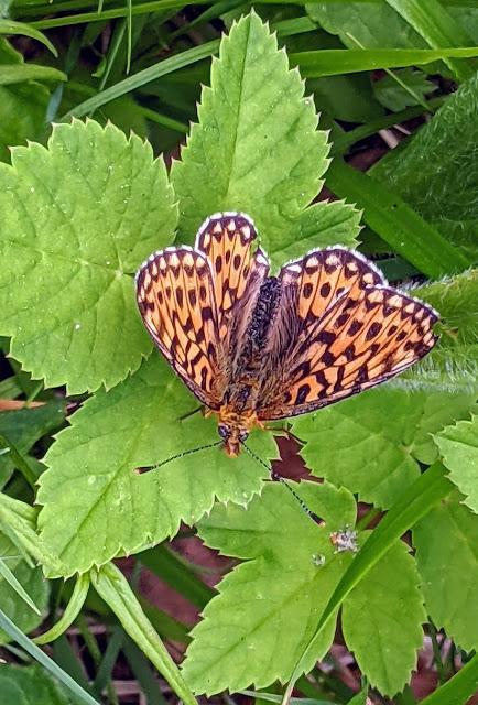Boloria selene & Anguis fragilis — Mittenwald 18.06.2021 — 4 Bilder / 4 photos
