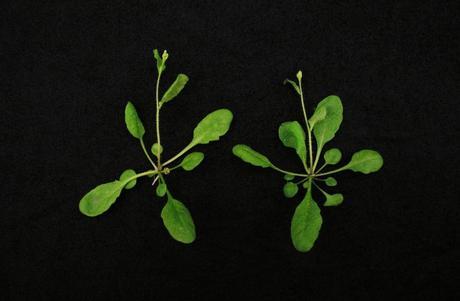 Plantes Arabidopsis