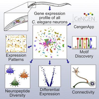 #Cell #systèmenerveux #topographiemoléculaire Topographie moléculaire d'un système nerveux entier