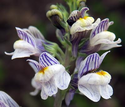 Linaire striée (Linaria repens)