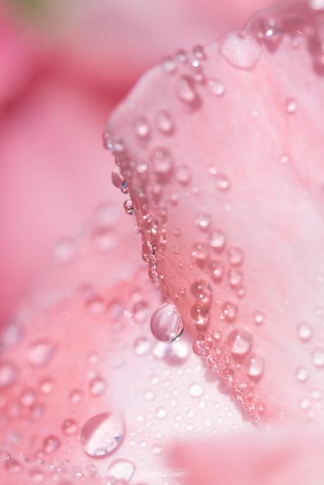 Gouttes en rose